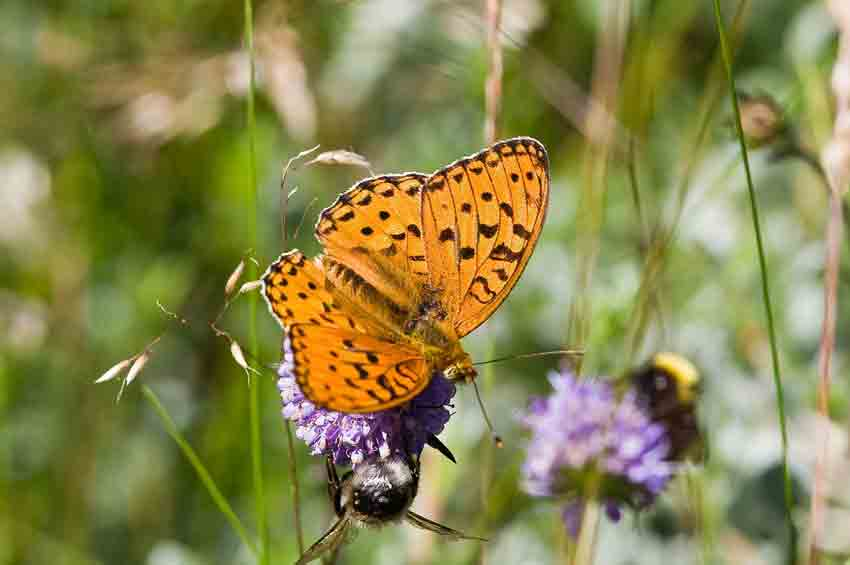 high_brown fritillary butterfly tumbnail